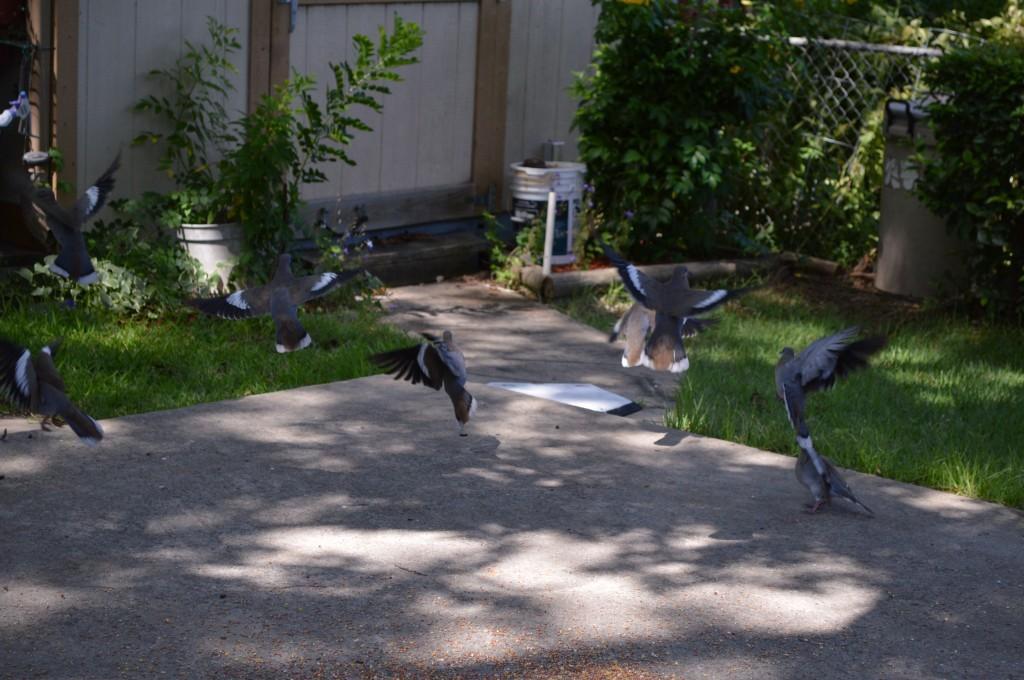 Pigeon scranble